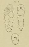 Textularia punctata d'Orbigny, 1852