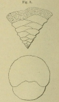 Textularia trochoides Orbigny, 1852
