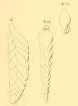 Textularia elongata Orbigny, 1852