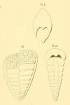 Textilaria marginata d'Orbigny in Fornasini, 1901
