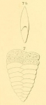 Textularia lingula d'Orbigny, 1852