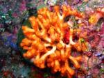 Myriapora truncata
