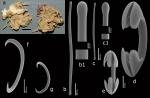 Coelosphaera (Coelosphaera) lissodendoryxoides Van Soest, 2017