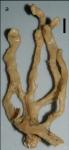 Clathria (Thalysias) complanata Van Soest, 2017