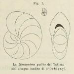 Nonionina polita d'Orbigny in Fornasini, 1902