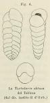 Textularia obtusa d'Orbigny, 1826