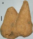 Hemiasterella camelus Van Soest, 2017