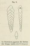 Textularia pygmaea d'Orbigny in Deshayes, 1828