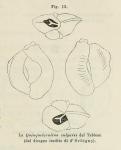 Quinqueloculina vulgaris d'Orbigny, 1826