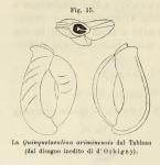 Quinqueloculina ariminensis d'Orbigny in Fornasini, 1902