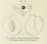 Quinqueloculina bicarinata d'Orbigny in Terquem, 1878
