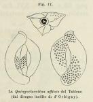 Quinqueloculina affinis d'Orbigny in Fornasini, 1902