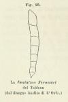 Dentalina ferussacii (d'Orbigny in Guérin-Méneville, 1832)
