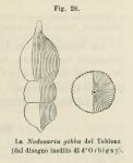Nodosaria gibba d'Orbigny in Fornasini, 1902