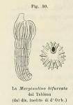 Marginulina bifurcata d'Orbigny in Fornasini, 1902