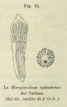 Marginulina cylindrica d'Orbigny in Fornasini, 1902