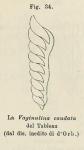 Vaginulina caudata d'Orbigny, 1826