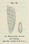 Vaginulina striata d'Orbigny, 1826
