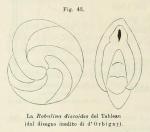Robulina discoides d'Orbigny in Fornasini, 1902