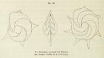Robulina aculeata d'Orbigny, 1826
