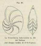 Cristellaria tuberculata d'Orbigny in Fornasini, 1902