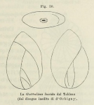 Polymorphina lucida d'Orbigny in Fornasini, 1902
