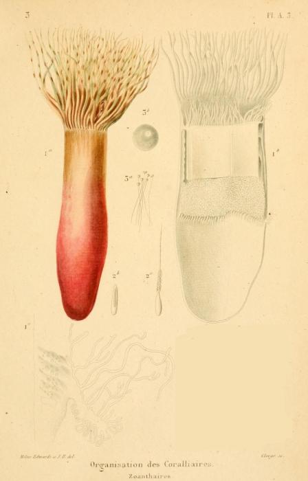 Saccanthus purpurescens