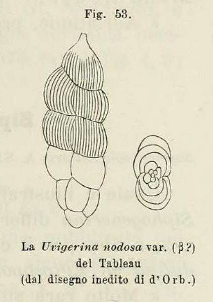 Uvigerina nodosa var. beta d'Orbigny, 1826