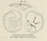 Rotalia pileus d'Orbigny, 1852