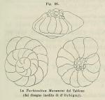 Rotalia maremini d'Orbigny in Fornasini, 1902