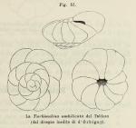 Rotalia umbilicata d'Orbigny, 1902