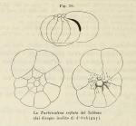 Rotalia inflata d'Orbigny in Fornasini, 1902