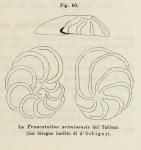 Truncatulina ariminensis d'Orbigny in Fornasini, 1902