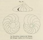 Gyroidina contecta d'Orbigny in Fornasini, 1902