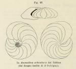 Anomalina orbicularis d'Orbigny in Fornasini, 1902