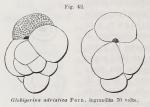 Globigerina adriatica Fornasini, 1899