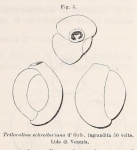 Triloculina schreiberiana d'Orbigny, 1839