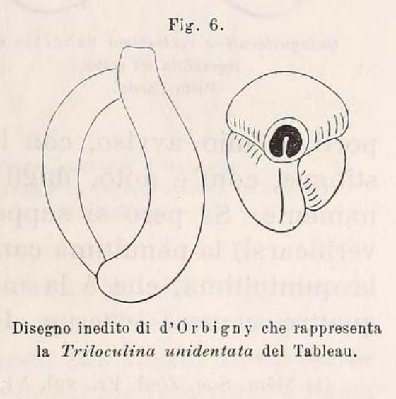 Triloculina unidentata d'Orbigny in Fornasini, 1900