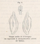 Quinqueloculina sulcata d'Orbigny in Fornasini, 1900