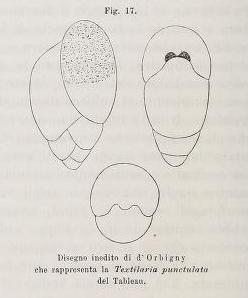 Textularia punctulata d'Orbigny, 1826