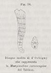 Marginulina cornucopiae d'Orbigny in Fornasini, 1900