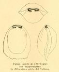 Biloculina alata d'Orbigny, 1852