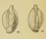 Massilina goniopleura Hadley, 1935