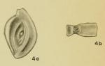 Spiroloculina bidentata Hadley, 1935