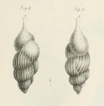 Uvigerina pigmea d'Orbigny, 1826