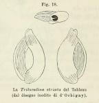 Triloculina striata d'Orbigny in Fornasini, 1902