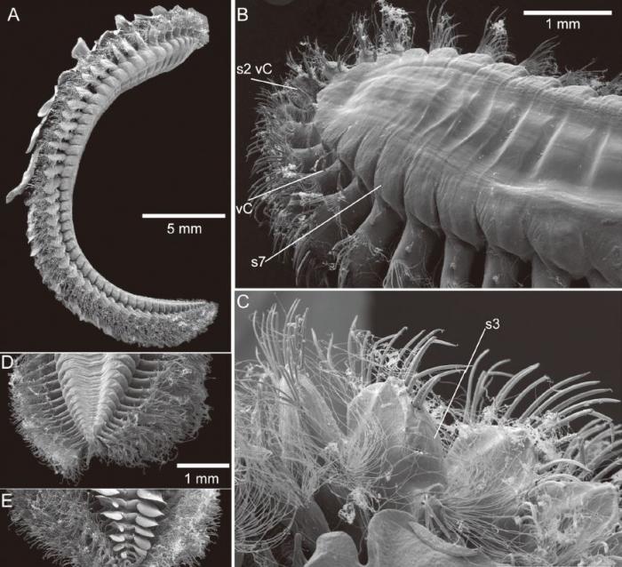 Eulepethus nanhaiensis photo figures
