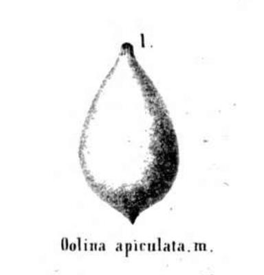 Oolina apiculata Reuss, 1850