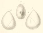 Globulina amygdaloides Reuss, 1851