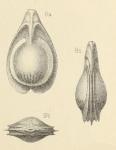 Lagena orbignyana var. variabilis Wright, 1891